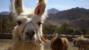 Lama en Bolivie